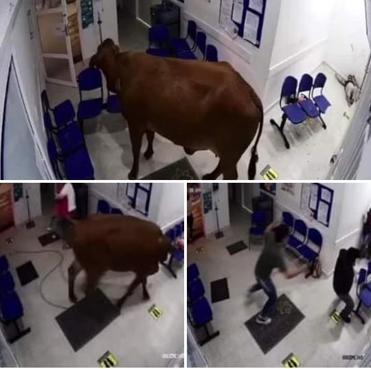 ¿Se sentía mal de salud? Vaca terminó en la urgencia de un hospital en Antioquia