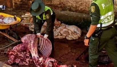 Descubren matadero clandestino y decomisan una tonelada de carne de caballo en Bucaramanga.